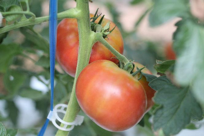 ふうこちゃんトマト2